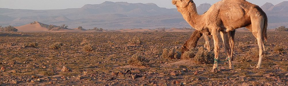 the hike in the moroccan desert - camels